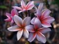 【7月下旬発送・1本限定】世界的に入手困難なオーロラ咲きのパープル系新品種  'Discovery' カット苗