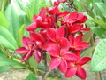 チョコレートの香り! プルメリアのベアルート発根苗 'Siam Red' 栽培セット(大輪の赤花種・スリット鉢・プルメリア専用培養土つき)