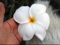 世界最大級の巨大輪のレア品種1 プルメリアのベアルート発根苗 'Cupidon' 栽培セット(希少品種・スリット鉢・プルメリア専用培養土つき・Premium品種)