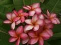 【数量限定・3月中旬頃より発送】2020日本初上陸! 美花を咲かせる新品種・プルメリアのベアルート発根苗 'Golden Ruby' 栽培セット(2020年日本初上陸品種・スリット鉢・プルメリア専用培養土つき)