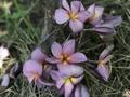 幻のプルメリア 'Purple Serendipity' (カット苗)