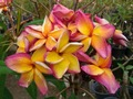 【3月上旬より発送】プルメリアのベアルート発根苗 'Butterfly Gold' 栽培セット(スリット鉢・プルメリア専用培養土つき・Premium品種)