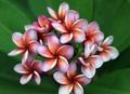 【40%オフ】2019日本初上陸! 鮮烈な色彩の美花を咲かせる新品種・プルメリアのベアルート発根苗 'Krit's Violet' 栽培セット(2019年日本初上陸品種・スリット鉢・プルメリア専用培養土つき)