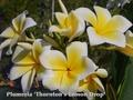 【3月上旬より発送】プルメリアのベアルート発根苗 'Thornton's Lemon Drop' 栽培セット(希少種・スリット鉢・プルメリア専用培養土つき・Premium品種)