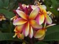 【3月中旬頃より発送】プルメリアのベアルート発根苗 'Maui Rainbow' 栽培セット(スリット鉢・プルメリア専用培養土つき)