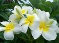 【3月中旬頃より発送】プルメリアのベアルート発根苗 'Hawaiian White' 栽培セット(ブーケ咲き品種・スリット鉢・プルメリア専用培養土つき)
