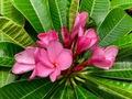 【SJプレミアム品種】香りのするピンク花のプディカ! 世界的に入手困難な原種交配種  'Siam Pink Pudica' カット苗
