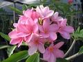 【3月上旬より発送】プルメリアのベアルート発根苗 'Pretty in Pink' 栽培セット(米国の名花・スリット鉢・プルメリア専用培養土つき・Premium品種)