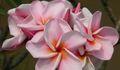 ピンク系の大輪種!プルメリアのベアルート発根苗 'Orathai Pink' 栽培セット(希少種・スリット鉢・プルメリア専用培養土つき)