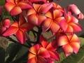 【7月末より発送】2019年初導入品種! ストリベリーの香り・希少種プルメリアのカット苗 ''Thai Orange Splendor'
