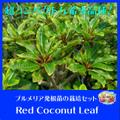プルメリアのベアルート発根苗 'Red Coconuts Leaf' 栽培セット(スリット鉢・プルメリア専用培養土つき・超ドワーフ品種)