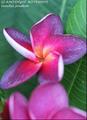 【7月下旬発送・1本限定】2019年初リリース! 世界的に入手困難な美しいグラデーションの花を咲かせるパープル系新品種  'SJ Amethyst Meteolite' カット苗
