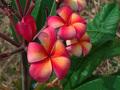 【7月下旬発送・3本限定】世界的に入手困難な大輪の鮮やかなレインボー品種  'Orange Splendor' カット苗
