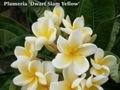 【3月上旬より発送】超わい性プルメリアのベアルート発根苗 'Dwarf Siam Yellow' 栽培セット(希少種・超ドワーフ・スリット鉢・プルメリア専用培養土つき・Premium品種)
