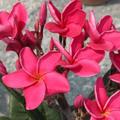 プルメリアのベアルート発根苗 'Sexy Pink' 栽培セット(スリット鉢・プルメリア専用培養土つき)