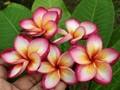 【数量限定・6月上旬より発送】日本初上陸! 燃えるような色彩の新品種プルメリアのベアルート発根苗 'Beautiful Sunshine' 栽培セット(2019年新品種・スリット鉢・プルメリア専用培養土つき)