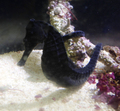 近海産 クロウミウマ BIGサイズ オス