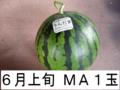 千葉県富里産 大玉西瓜(MA・1玉) 6月上旬収穫