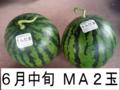 千葉県富里産 大玉西瓜(MA・2玉) 6月中旬収穫