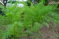 にんじんさん(うさぎさんサイズ)とuta農園の野草セット 送料着払い