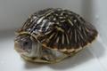 ニシキハコガメ(ベビー)B