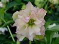 薔薇咲き ホワイトピコティー 5712DD5