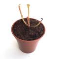 【Baby plants】Sarracenia flava var. maxima (all green) (seedling) (サラセニア フラバ var. マキシマ オールグリーン) 実生系