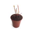【Baby plants】Sarracenia flava x oreophila (seedling) (サラセニア フラバ x オレオフィラ) 実生系