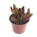 Sarracenia purpurea ssp. purpurea YN /サラセニア プルプレア