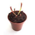 【Baby plants】Sarracenia leucophylla Hybrid (seedling) (サラセニア レウコフィラ ハイブリッド) 実生系