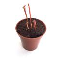【Baby plants】Sarracenia flava var. rubricorpora (seedling) (サラセニア フラバ var. ルブリコーポラ) 実生系