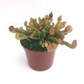 Sarracenia psittacina YN /サラセニア プシタシナ