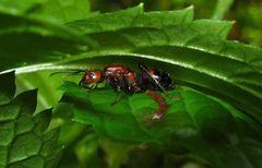 ニコバレシスオオアリのコロニー