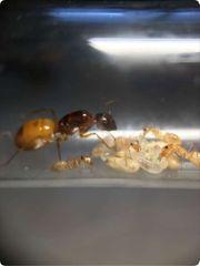 中央アジア産 Camponotus turkestanusコロニ―