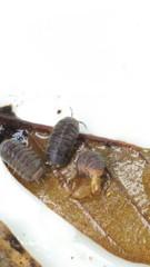コシビロダンゴムシ 5匹 福岡県採集