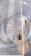 冷凍 カゲロウ幼虫 100匹