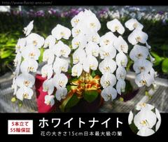 胡蝶蘭・ホワイトナイト(5本立て 55輪保証)白系