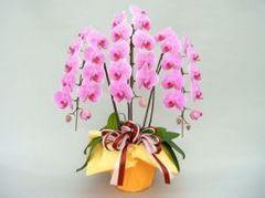 胡蝶蘭(3本立て30輪)ピンク系