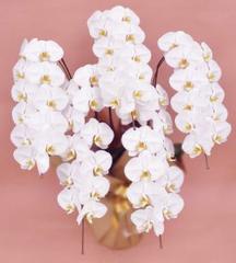 胡蝶蘭(5本立て65輪)ピンク系