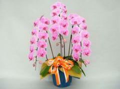 胡蝶蘭(3本立て35輪)ピンク系