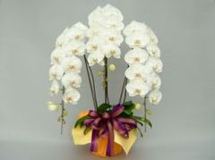 胡蝶蘭(3本立て30輪)白系