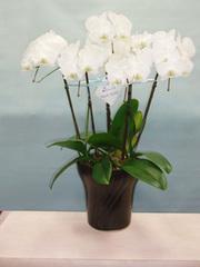 コチョウラン(5本立) 白
