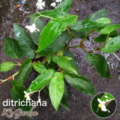 ditrichana  デイクラータ