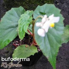 bufoderma  ブフォデルマ