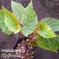 malabarica  マラバリカ