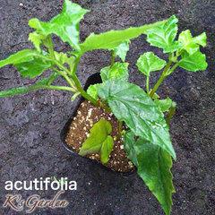 acutifolia  アクテイフォリア