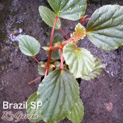 Brazil SP  ブラジルsp