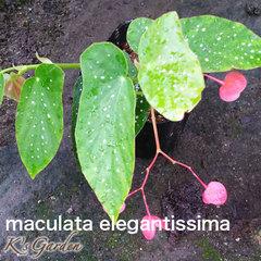 maculata-elegantissima  マクラータエレガンテシマ