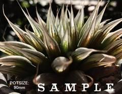 【SPECIMEN/SAMPLE(clone)】H. davidii (Payne's Hill) 細葉
