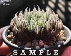 【SPMECIMEN/SAMPLE(clone)】H. purpurea(MH14-330-1 JDV94/50 Kirkwood)